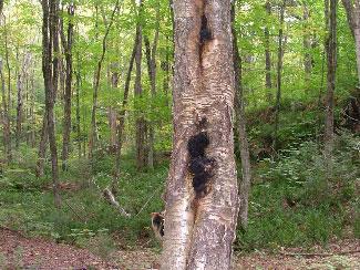 Cinder conk yellow birch